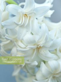 ЗЮМБЮЛ КЪДРАВ ДВОЕН КИЧЕСТ СНЕЖЕН КРИСТАЛ - Hyacinthus Double Snow Crystal