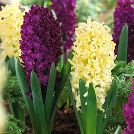 Ароматен многогодишен зюмбюл вишнев и жълт смес - Hyacinthus mix yellow and woodstock