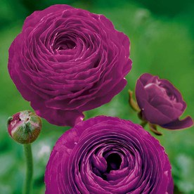 Ранункулус лилава сензация - Ranunculus purple