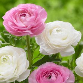 РАНУНКУЛУС РОЗОВО И БЯЛО МИКС - RANUNCULUS WHITE AND PINK MIX