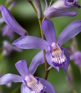 БЛЕТИЛА СИН ДРАКОН - BLETILLA STRIATA BLUE DRAGON